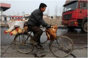 China Moves Quickly Towards Stamping Out Bird Flu