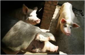 Chinese Authorities Claim Blue-ear Pig Disease Under Control