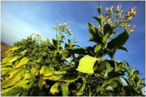 Tobacco and Nicotine Make Good Pesticides