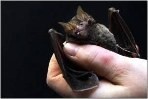New Flu Virus Identified in Fruit Bats