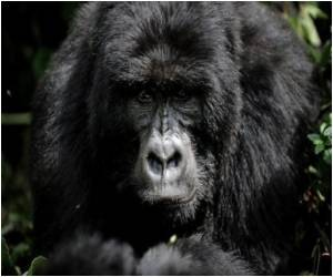 Gorillas Might Have Passed Pubic Lice To Humans