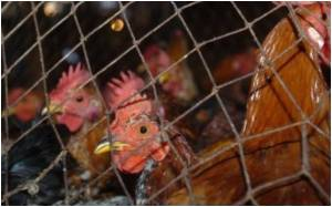 Reports Of Denmark's First Case Of Human Bird Flu False