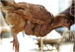 Tripura Starts Culling of Chickens After Bird Flu Outbreak