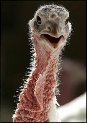 Christmas Turkey Fears as British Bird Flu Cull Widens
