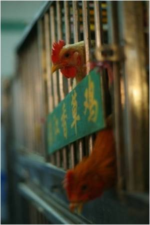 Human-to-human Bird Flu Reports Dismissed by China
