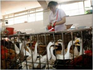 Dead Chinese Ducks Has Been Vaccinated Against the Disease: Report