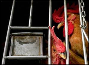China Confirms Bird Flu Outbreak in Guangzhou