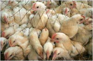 New Genetic Marker to Predict Bird Flu Severity Identified