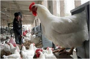 Egyptian Woman Dies of Bird Flu