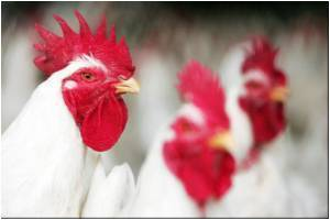 Genetic Modification in Chicken to Prevent Bird Flu Epidemics