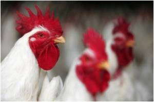 Chickens Culled in Nepal Farm