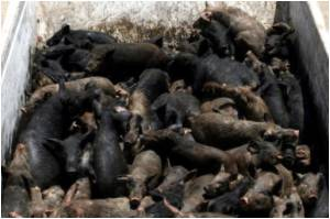 Pig Culling Video Clip In YouTube Sparks Outrage