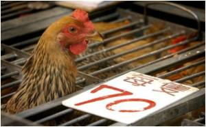 Bird Flu Found in a Hongkong Poultry Farm
