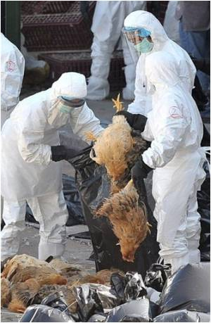 Half Million Chickens To be Slaughtered In Mexico Over Bird Flu Scare
