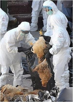 Officials Point Wild Birds For Hong Kong Bird Flu Outbreak