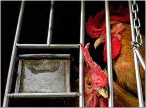 H5N1 Strain Detected in Russian Chicken Farm