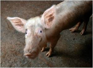 Pigs With Flu Develop Symptoms Similar To Humans: Study