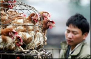 Macau: 7,500 Chicken Culled Over Bird Flu Scare