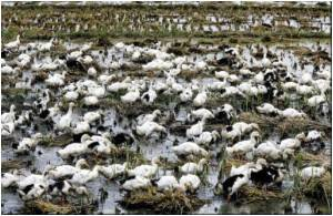 Thousands of Ducks Slaughtered in Tripura to Contain Bird Flu Outbreak