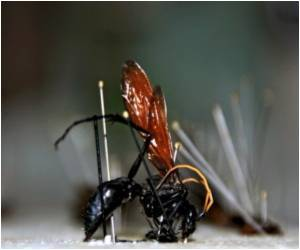 Females Have The Penis In Sex-Reversed Cave Insects