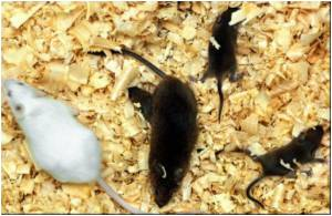 Paternal Mice Bond With Their Offspring by Touching