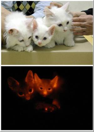 Scientists Produce Cloned Cats That Glows in the Dark