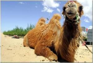Camel Blood May Help Cure Cancer