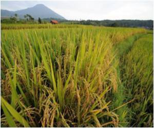 Asia's Rice Production At Risk Due To Rapid Climate Change