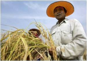 Rice Plantations in China Contain Abnormal Levels of Cadmium