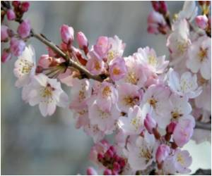 The Japanese Art of Cherry Blossom Viewing Comes To Washington