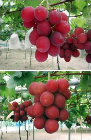Japanese Hotel Serves $1000 a Bunch 'Dream Grapes' as Special Treat