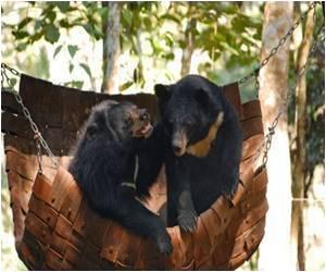 Bears Exploited for Bile in Asia