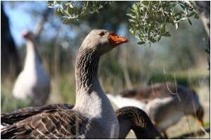 Great demand for Spain's 'ethical' foie gras worldwide
