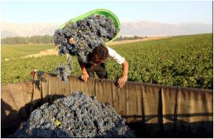 Winemaking: a Burgeoning Business in Lebanon