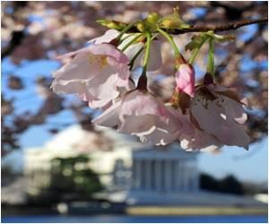 Cherry Blossom Festival begins