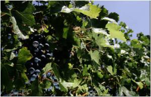 Climate Change Threatens to Redraw World's Wine Map