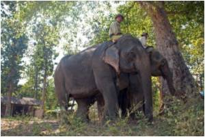 Tusker Undergoes Root Canal Treatment in India