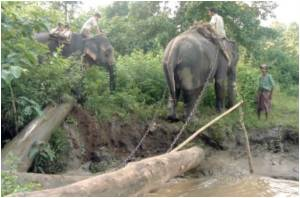 Myanmar Training Wild Elephants to Destroy Their Own Habitats