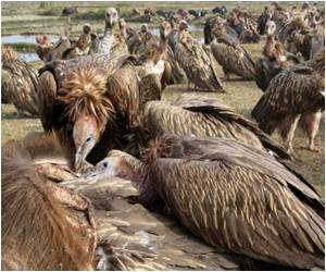 Nepal's Vultures Being Saved by