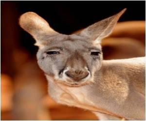 Peru Approves Kangaroo Meat on the Menu