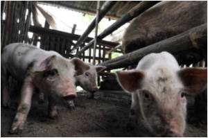 Philippines Pig Farmer Infected With Ebola Virus