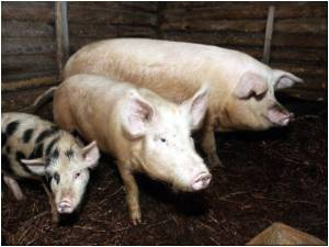 Superbugs in Animal Farms