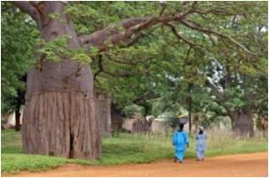 Europe Recognizes Health Benefits of Baobab Fruit