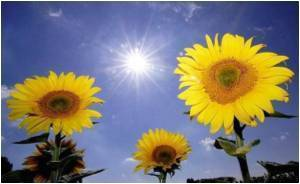 Sunflower Proteins To Block Cancer Enzymes