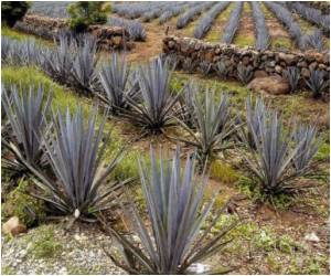 Tequila Plant Could Help Treat Diabetes, Osteoporosis: Researchers