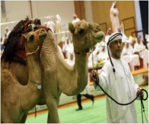 Abu Dhabi to Play Host to Camel Beauty Contest