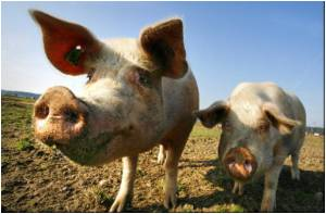 Georgia may Lose Most Pigs to Swine Fever: FAO