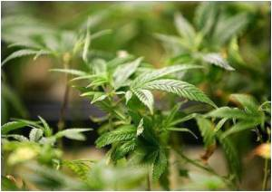 Cannabis Genome Map Reveals Its Drug-Producing Properties