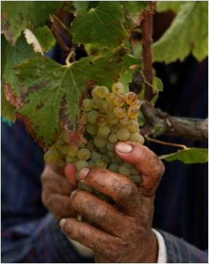 Next on the Climate Change Extinction List - Red Wine