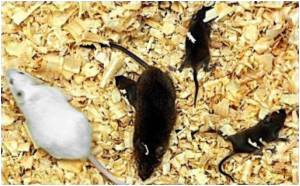 Young Mice Need Mother's Warmth for Survival